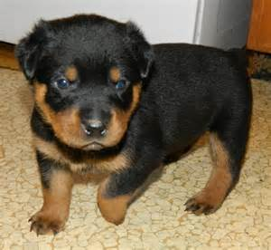 rottweiler ohio newborn rottweiler puppies www pixshark images galleries with a bite