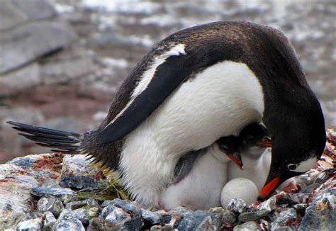 the birds nest penguin b00i1aa18c penguin parental care despite reading and watching lots of flickr