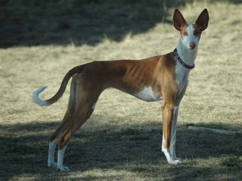 low maintenance breeds low maintenance pictures breeders guide