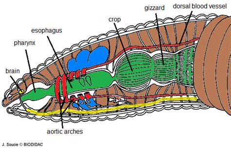 earthworm dissection labeled diagram earthworm anatomy dissections worksheets and homeschool