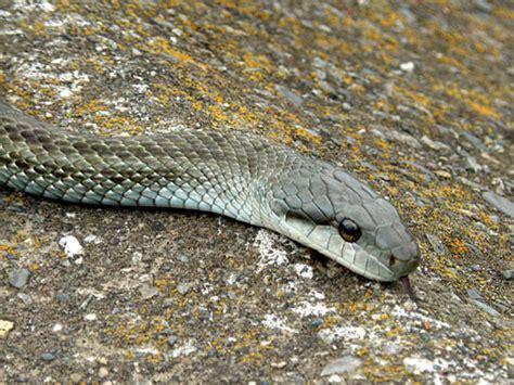 Gw 169 B 1 画像 日本にいるヘビ アオダイショウ 画像まとめ naver まとめ