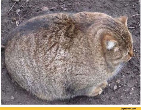 Decke Katze by Potato Cat Animal Pictures Best