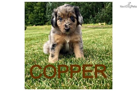 aussiedoodle puppies for sale ohio aussiedoodle puppy for sale near toledo ohio b8e1b252 0541