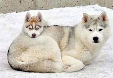 siberian husky in appartamento cani da slitta tutte le razze idee green