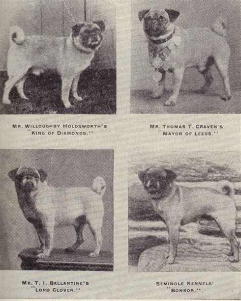 history of pug dogs x for an healthier pug page 2 pet forums community