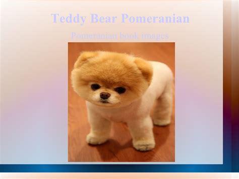 pomeranian teddy cut for sale teddy cut pomeranian breeds picture