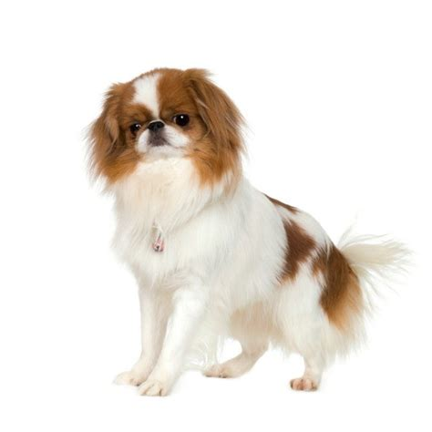 japanese chin chin information and pictures japanese spaniel japanese chin breeds picture