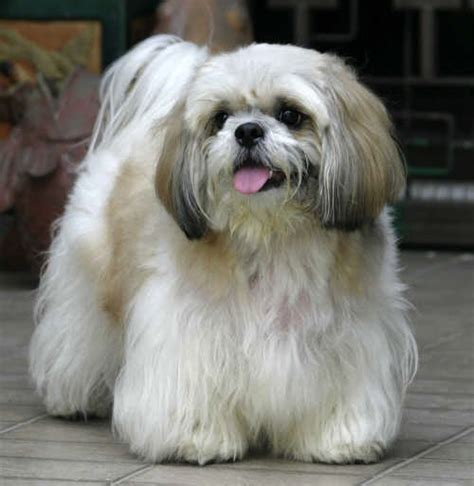 shih tzu height how big do shih tzu get shih tzu city