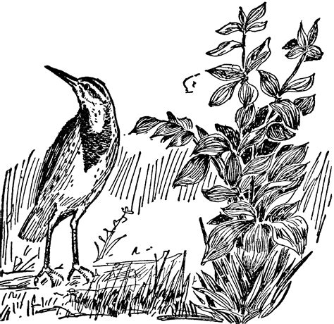 oregon western meadowlark coloring page coloring pages