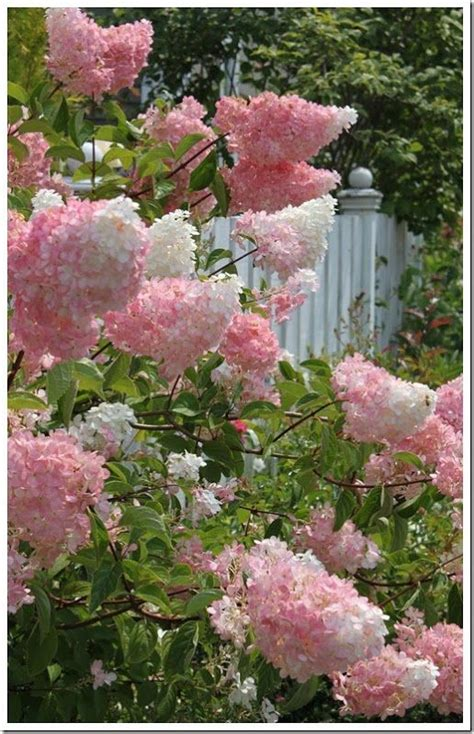 flowering shrubs for zone 9 top 25 ideas about flowering shrubs on shrubs