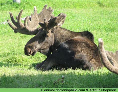 animal elang fiche informative sur l 233 lan ou l orignal