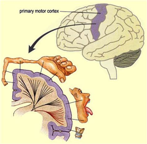 right motor cortex damage printable flash cards
