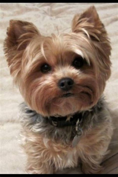 yorkie hairstyles yorkie haircut exles for pinterest