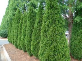 best trees medium sized privacy trees to block nosey neighbors fast