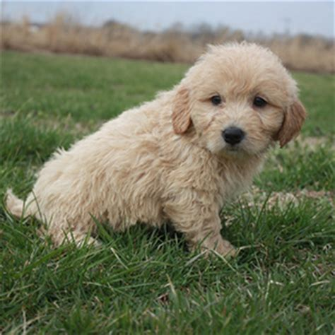 mini goldendoodles oakland nj mini goldendoodle puppy archives page 6 of 16 bark