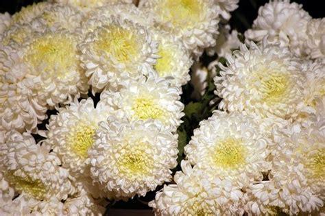 foto margherita fiore margherita fiore free image su 4 free fotografie