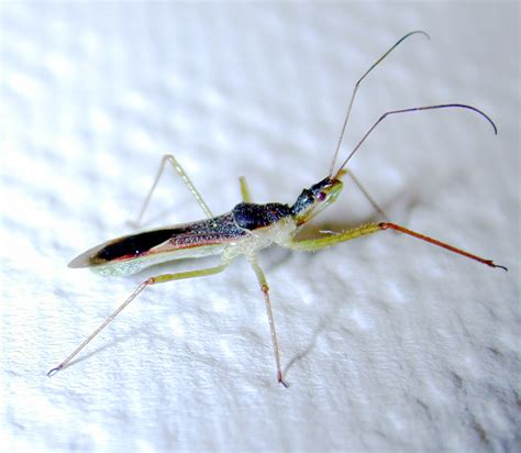 a bug of a different color the benefits wheel bugs and other assassin bugs insects in the city