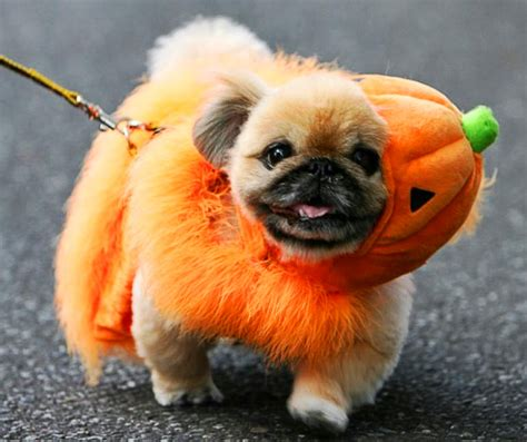 puppy in costume cutest costumes best large breed puppy food guide