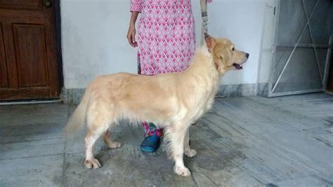 golden retriever puppies in kolkata golden retriever sale in kolkata photo