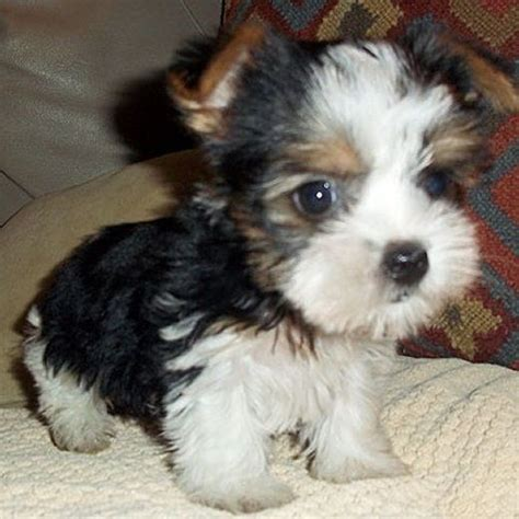 biewer terrier puppies and adorable biewer terrier puppy dogs terrier puppies terrier