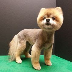 pomeranian boo cut 1000 images about pomeranian haircut on pomeranian haircut pomeranians