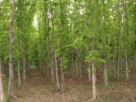 hutan jati