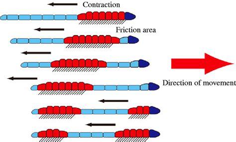 earthworm locomotion diagram biology movement of earthworm