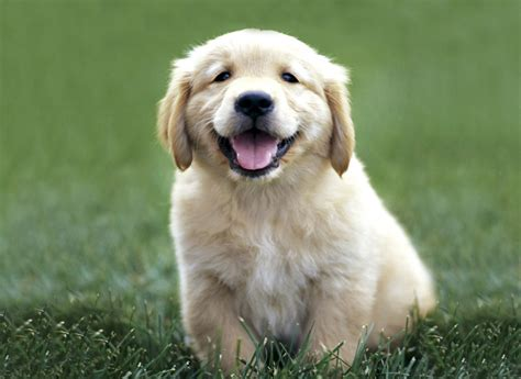 labrador or golden retriever golden retriever archieven pagina 2 7 honden blogo nl