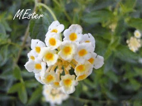 fiore bianco con pistillo giallo cachos de flores grouped flowers viagens flores
