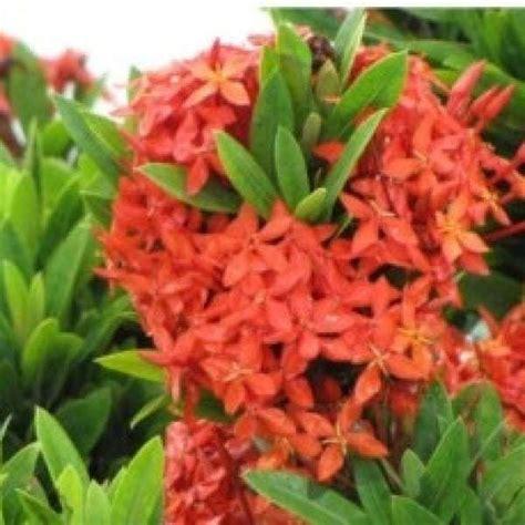 Polybag Bibit Tanaman 35 X 35 1 Kg jual bibit unggul tanaman soka merah jepang ixora