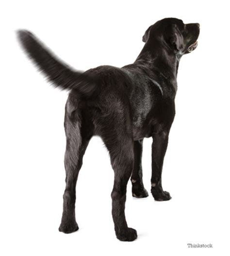 why do dogs their tails why do dogs wag their tails