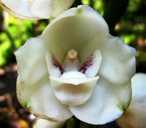 Beautiful Dove Orchid ? WeNeedFun