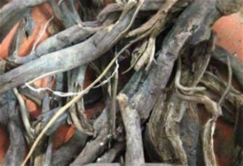 khasiat akar pohon aren  kesehatan khasiat