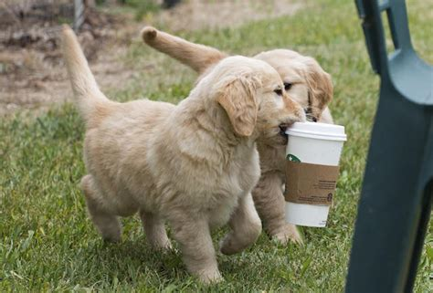 starbucks puppy these adorable puppies starbucks as much as you do