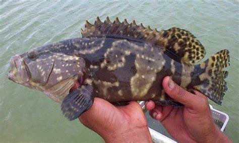 Bisnis Dan Budi Daya Kerapu H845 085200203004 peluang usaha pembesaran budidaya ikan kerapu di tambak karimunjawa