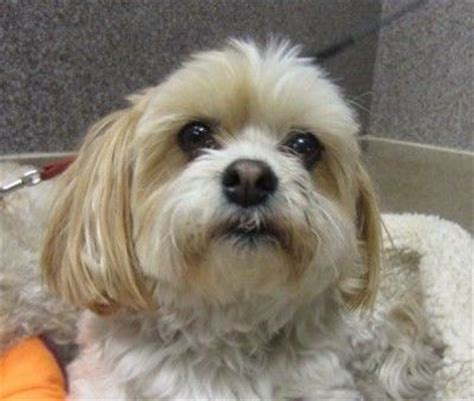 half shih tzu and half bichon frise edmonton spca breed bichon frise shih tzu age 10 yrs puppies galore