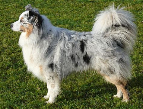 how much to feed australian shepherd puppy australian shepherd aussie puppies breed information pictures