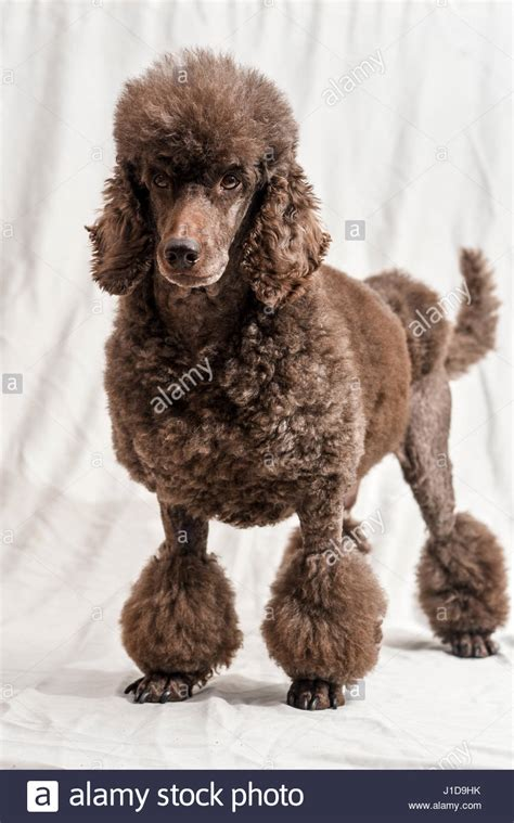 poodle rubber st poodle brown stock photos poodle brown stock images alamy