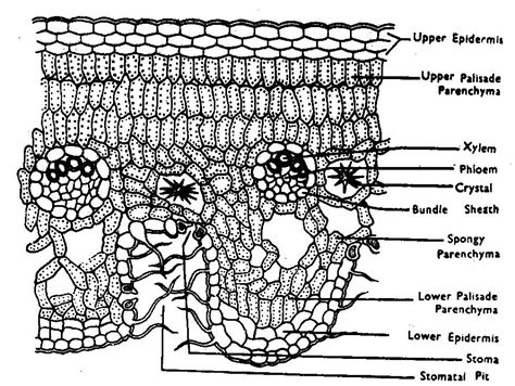 transverse section of a leaf diagram ts of nerium leaf theleaf co