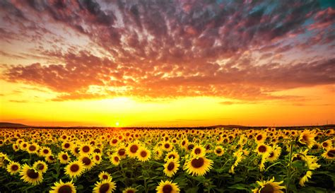 meaning of image sunflower meaning flower meaning