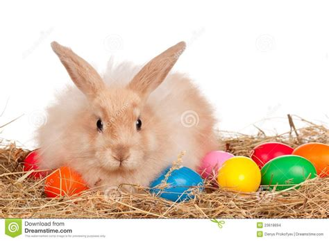 why is the rabbit associated with easter rabbit with easter eggs stock images image 23618694