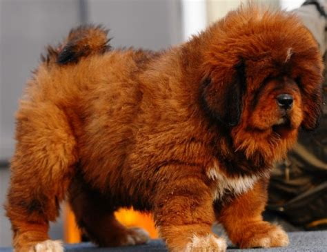 free puppies los angeles tibetan mastiff puppies for sale los angeles california pets for sale