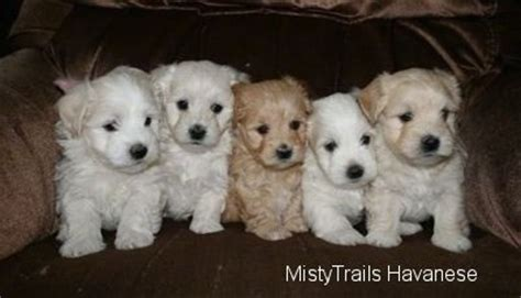 weaning puppies at 5 weeks havanese breed pictures 14