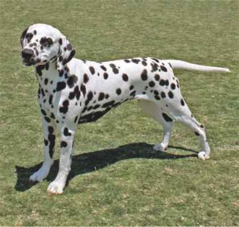 Do Dalmations Shed by Miniature And Standard Smooth Coat Coat And