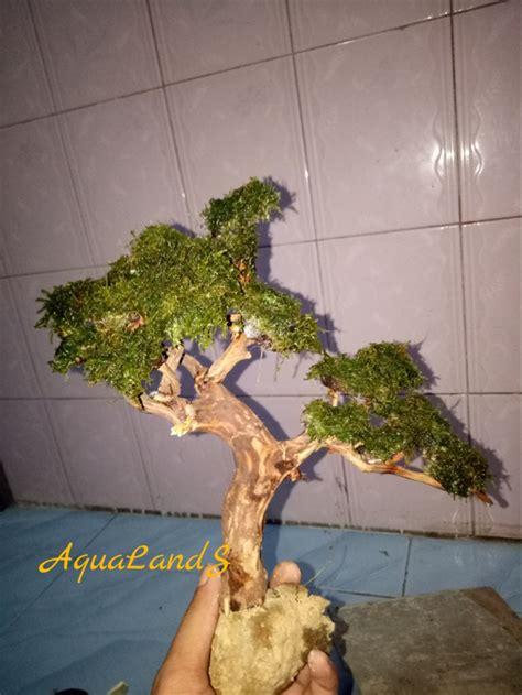 jual bonsai aquascape akar kayu rasamala  moss mini