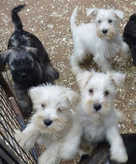 miniature schnauzer puppies ohio white miniature schnauzer puppies for sale in iowa design breeds picture