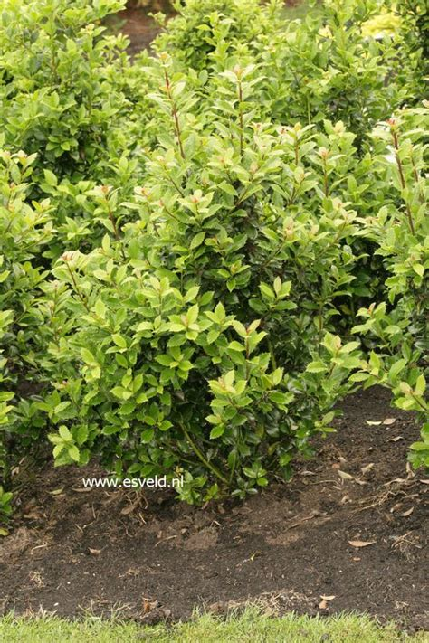 fast growing flowering evergreen shrubs ilex meserveae heckenpracht fast growing hardy