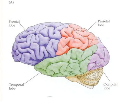 What Are The Four Sections Of The Brain by Communication Sciences And Disorders 115 Gt Bowman