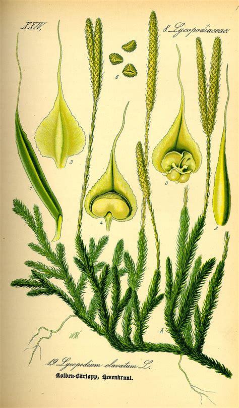 lycopodium clavatum wikispecies
