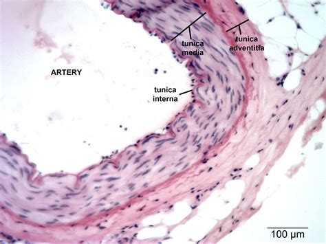 cross sectional views of an artery and of a vein circulatory np histology